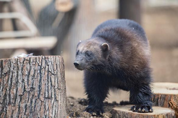 Hím rozsomákkal gazdagodott a pécsi állatkert