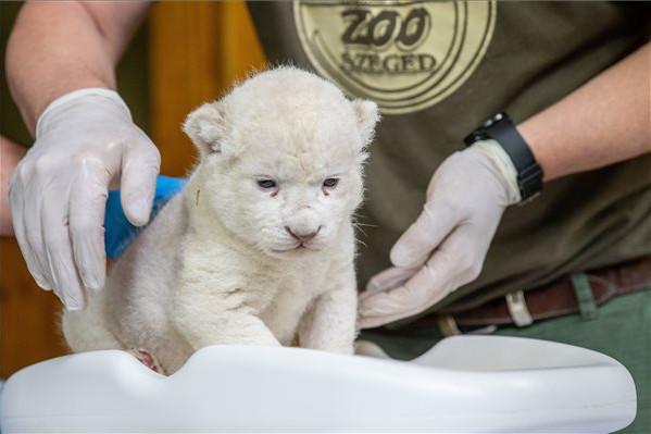 Fehér oroszlán született a Szegedi Vadasparkban