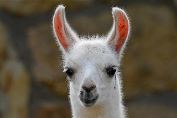 Tarka lámacsikó született a debreceni állatkertben