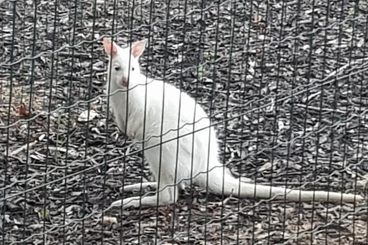 Egy budai hotelből tűnt el két kenguru