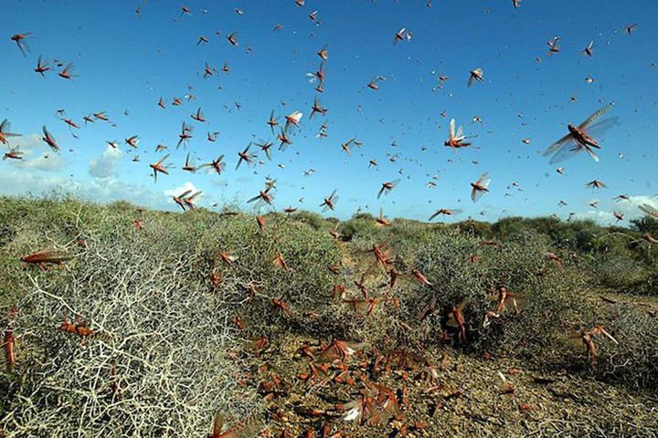 Sáskajárás pusztít Szardínián, felfalták a termést a rovarok