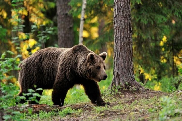 Halálos medvetámadás Erdélyben