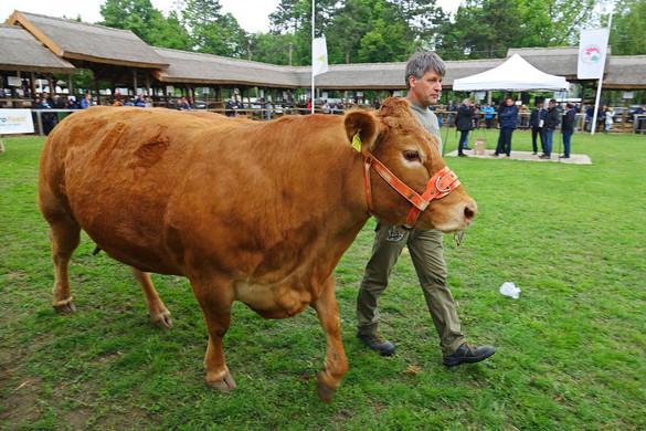 Ausztria veszi tőlünk a legtöbb szarvasmarhát