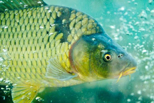 A konyhakész halat keressük