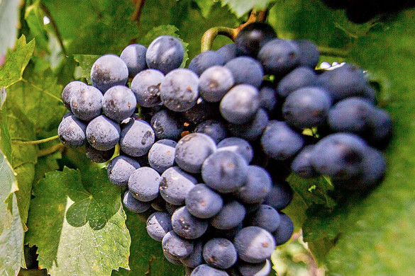 Feldman Zsolt: 2,5 milliárd forintnyi segítséget kapnak a szőlőtermelők