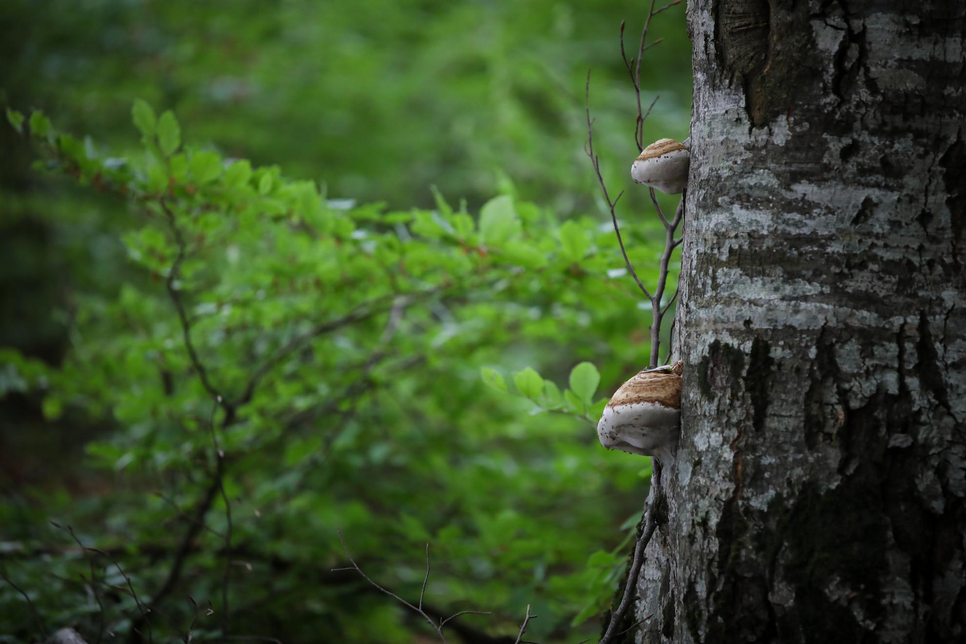 Két-háromszáz, de olykor ötszáz éves őserdőkben járnak taplógombák után a taplászok. Az öreg fa: gyenge fa, jól terem rajta az élősködő tapló.