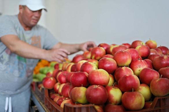 Természeti károk gyengítették az almatermést