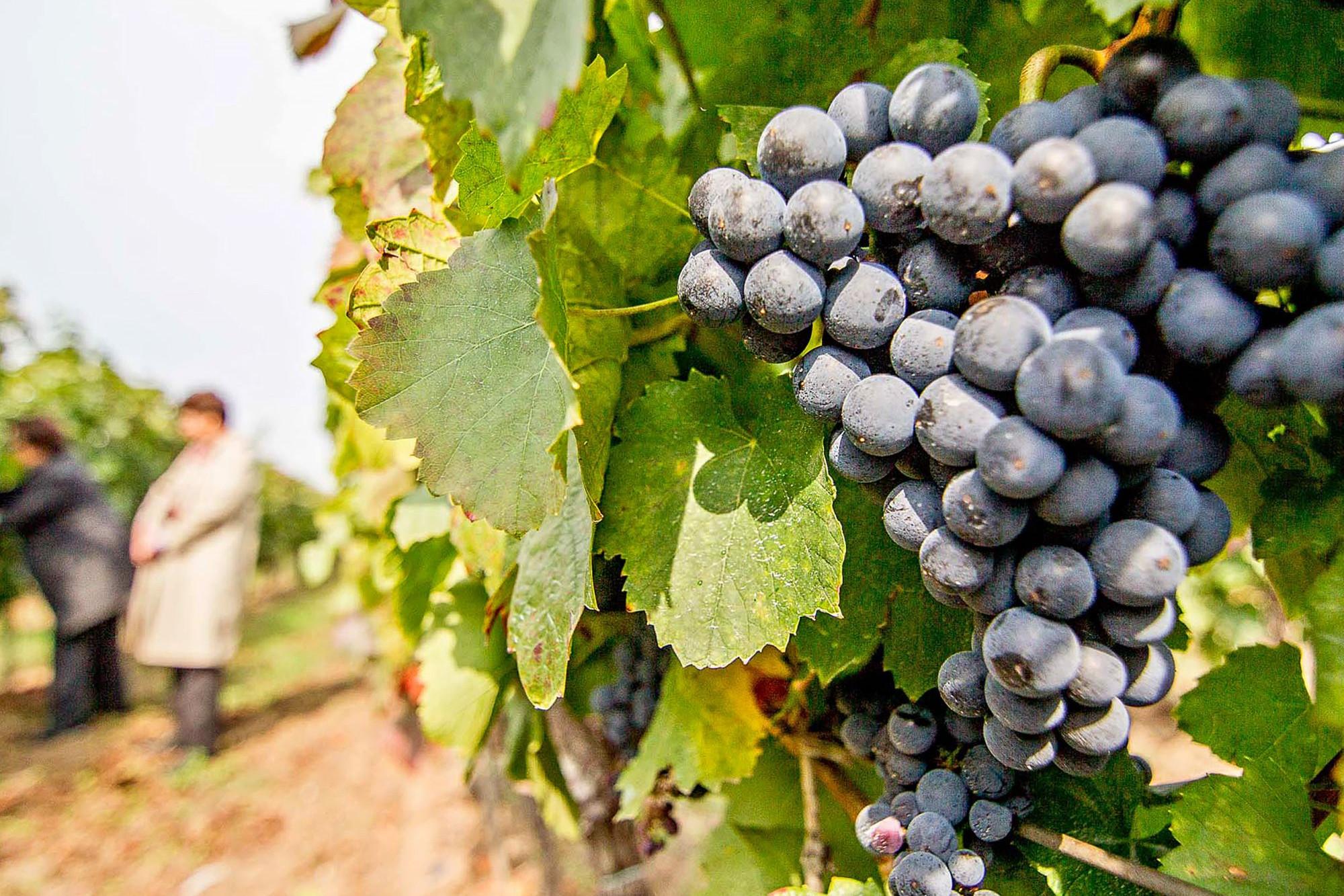 szőlő lehetőségek szakemberek számára)