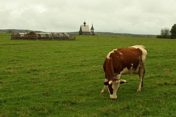 Elpusztult a világ első klónozott tehene Japánban