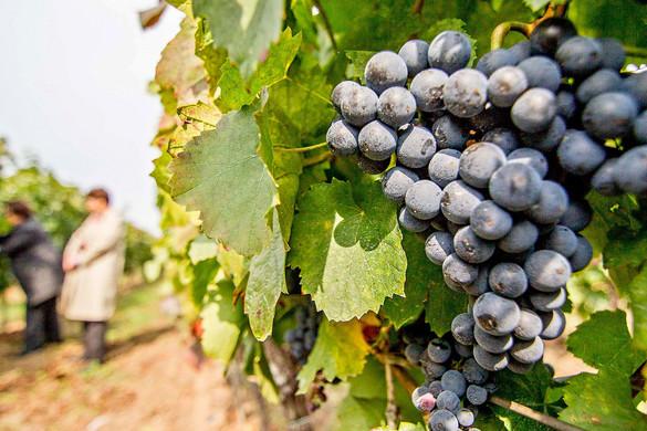 Meghaladhatja a 4 millió mázsát az idei szőlőtermés
