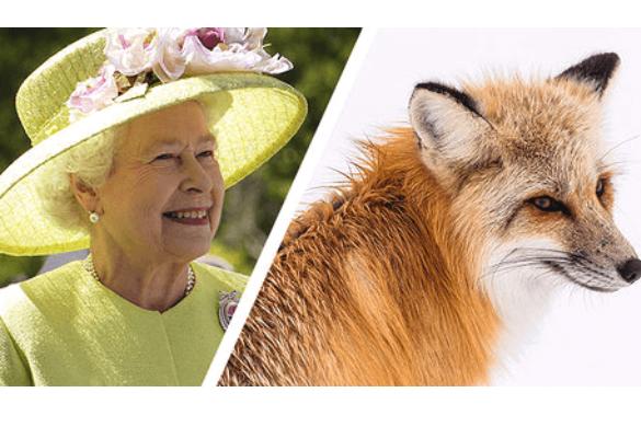 Állatvédők megdicsérték II. Erzsébetet, mert műszőrmét visel