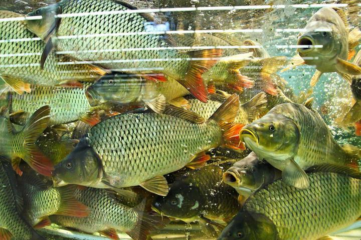 Karácsonykor fogy el a teljes hazai halmennyiség mintegy harmada