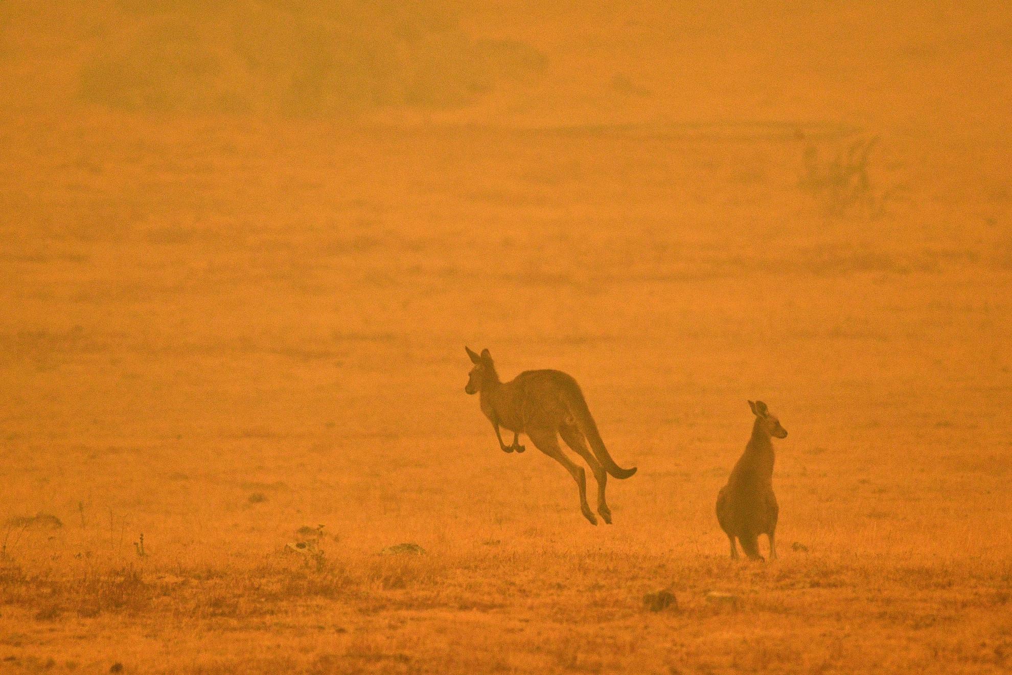 Rengeteg kenguru került bajba