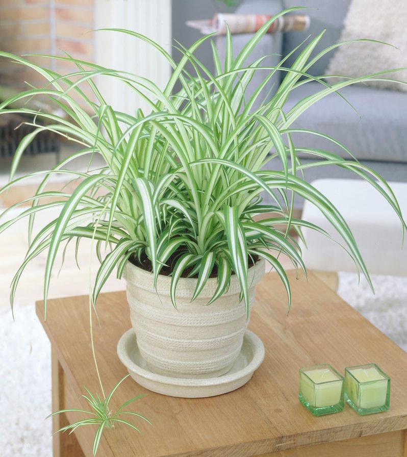 Egzotikus hangulatot kölcsönözhetünk a lakásunknak egy ilyen szobanövénnyel