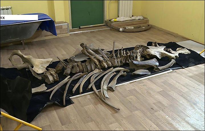A Kotelny szigeten talált mamut maradványai