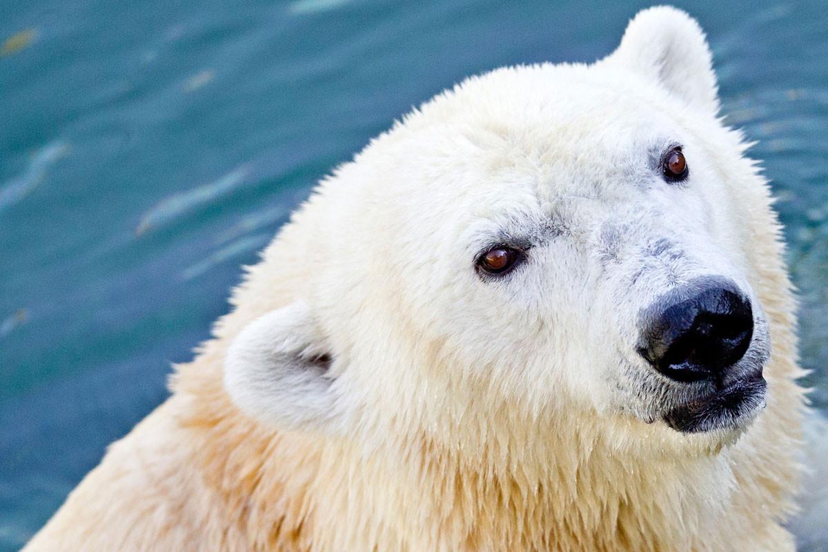 Szó sincs a jegesmedvék kipusztulásáról, sokkal inkább a túlszaporodásukról, a számuk mintegy fél évszázad alatt a hatszorosára emelkedett