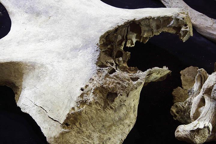 Több csonton is vadászat nyomaira bukkantak