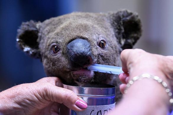 Szívszorító képek az ausztrál bozóttüzek elől menekülő állatokról
