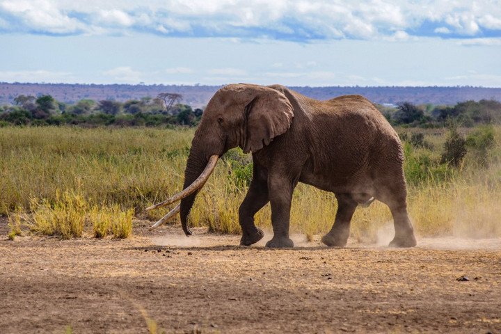 Elpusztult Nagy Tim, az utolsó óriásagyarú afrikai elefántok egyike