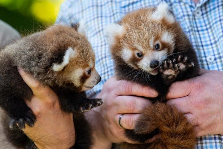 Izgalmas hír érkezett a vörös pandák világából