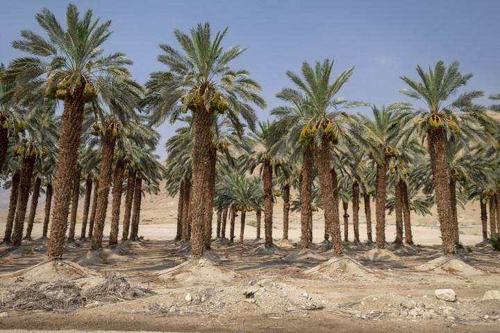 Jézus-korabeli magokból növesztettek datolyapálmákat Izraelben