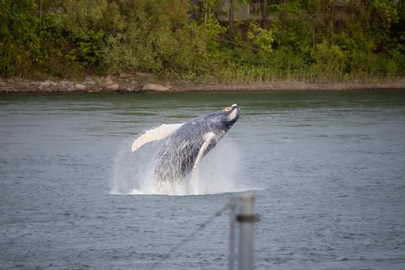 Hosszúszárnyú bálna tévedt Montrealba