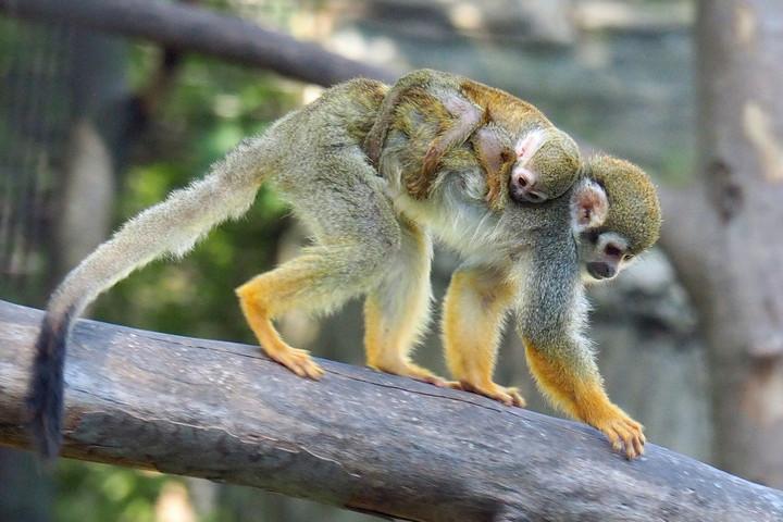 Mókusmajom született a Fővárosi Állatkertben
