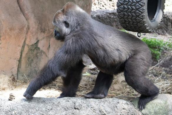 Az anyaságra tanítják Tumanit, a New Orleans-i állatkert gorilláját