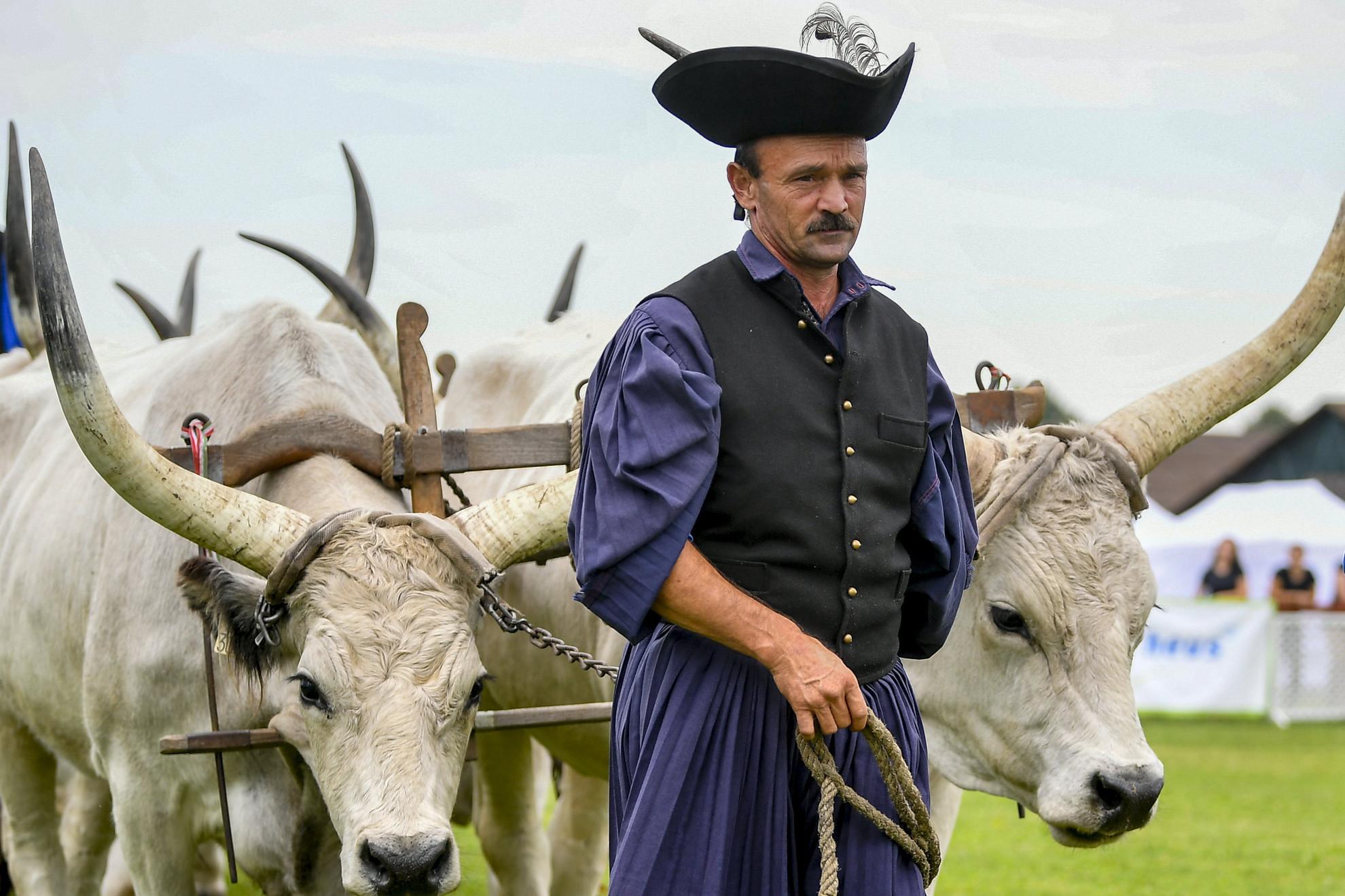 Szürkemarhákat vezetnek pásztorok a 29. Farmer Expo megnyitóján Debrecenben