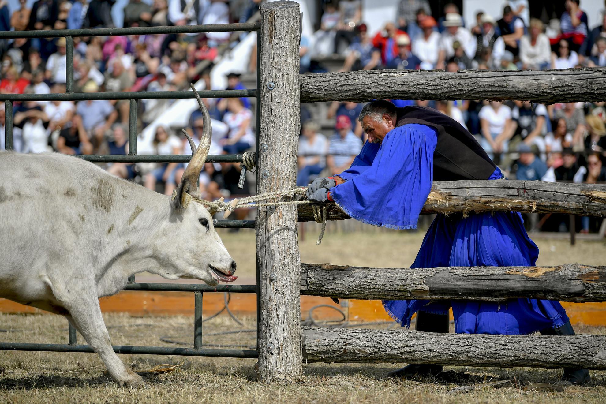 A marhakifogás versenyszám egyik résztvevője a 24. gulyásversenyen és pásztortalálkozón Hortobágyon 2020. szeptember 19-én