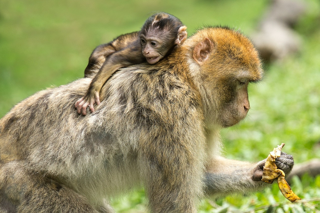 Az állatvilágban a balkezesség nem ritkább, mint a jobb mancs dominanciája