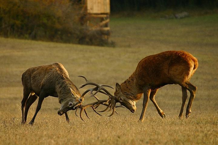 Szarvasbőgés-túrára invitálnak a Pilisi Parkerdő erdészei