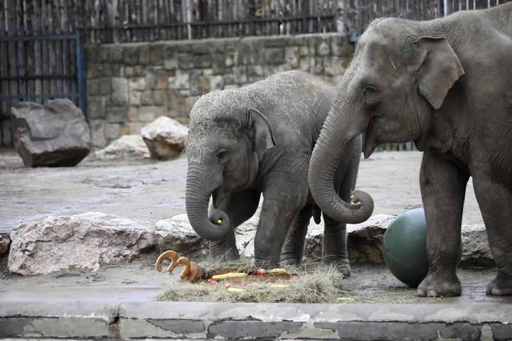 Tortát kaptak a születésnapos elefántok