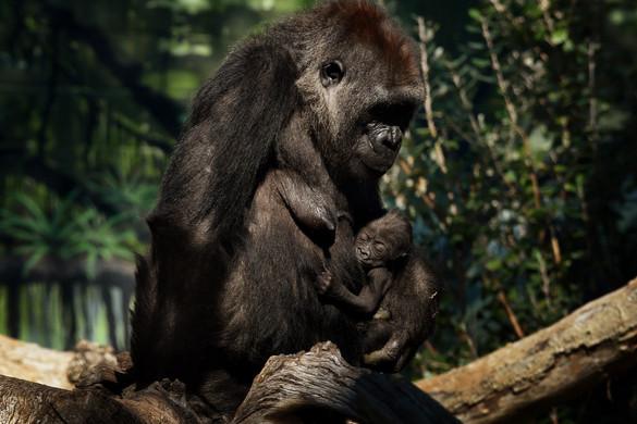 Két gorilla is elkapta a vírust a San Diego-i állatkertben