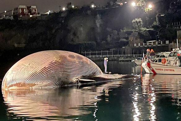 Hatalmas bálnatetem vetődött partra a Nápolyi-öbölben