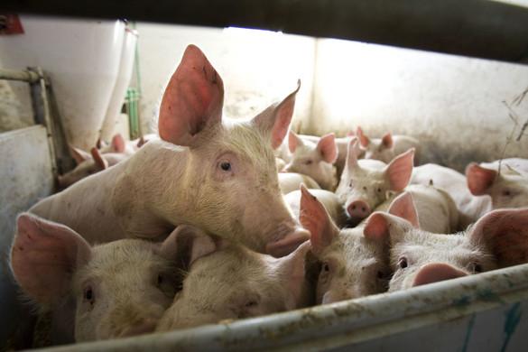 Agrárminisztérium: Brüsszel nem dob mentőövet a sertéstartóknak