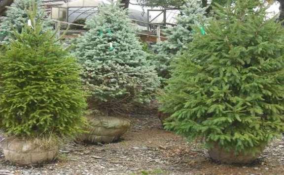 Maradnak a tavalyi fenyőfa-árak