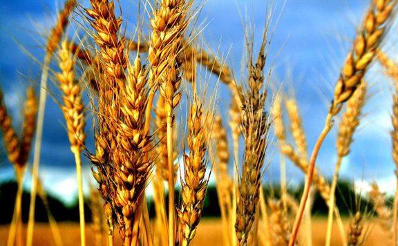 Nagy István: Exportra is bőven jut a magyar gabonából az idén