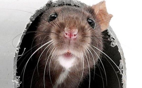 Patkányinvázió fenyegeti Nagy-Britanniát