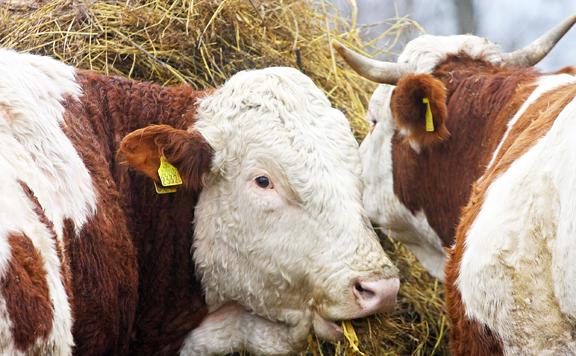 Nőtt az élő szarvasmarhák exportja az idén