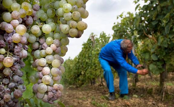 Tokaj a magyar bortermelés egyik legkiemelkedőbb régiója